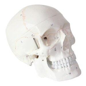 Image 1 - Модель черепа 1:1, модель черепа, модель черепа, лекарство, Череп, анатомическая голова человека, обучающие материалы