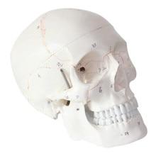 Taille de la vie crâne, modèle de crâne humain, médecine, anatomie anatomique, tête, étude, fournitures denseignement, taille de la vie 1:1
