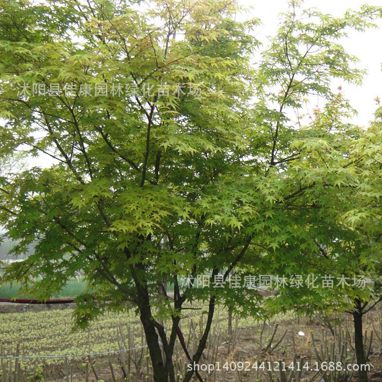 Arbres bonsaï collectés folioles Acer palmatum bonsaï Aceraceae érable palmatum Acer palmatum arabica emplacements réels 200 g/paquet
