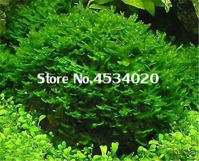 1000 pcs Rare Aquarium Planter Java Moss Grass bonsai Raros Gifts Plants Aquario Fish Tank Aquatic for Home Garden decoration