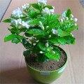 Envío libre/Min 15 dollar/50 UNIDADES BLANCO Semillas de Jazmín fragancia para la purificación del aire/flor del jazmín de arabia