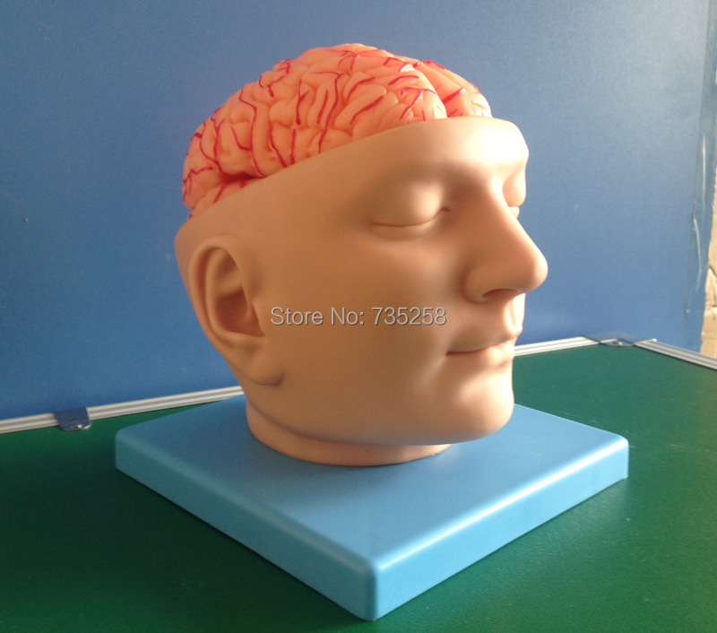 лучшая цена Head And Brain Artery Model,ISO brain anatomical model,Head Anatomical Model