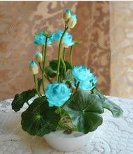 lotus plants, bowl water lily rare Aquatic flower plant bonsai for home garden planting--5 pcs