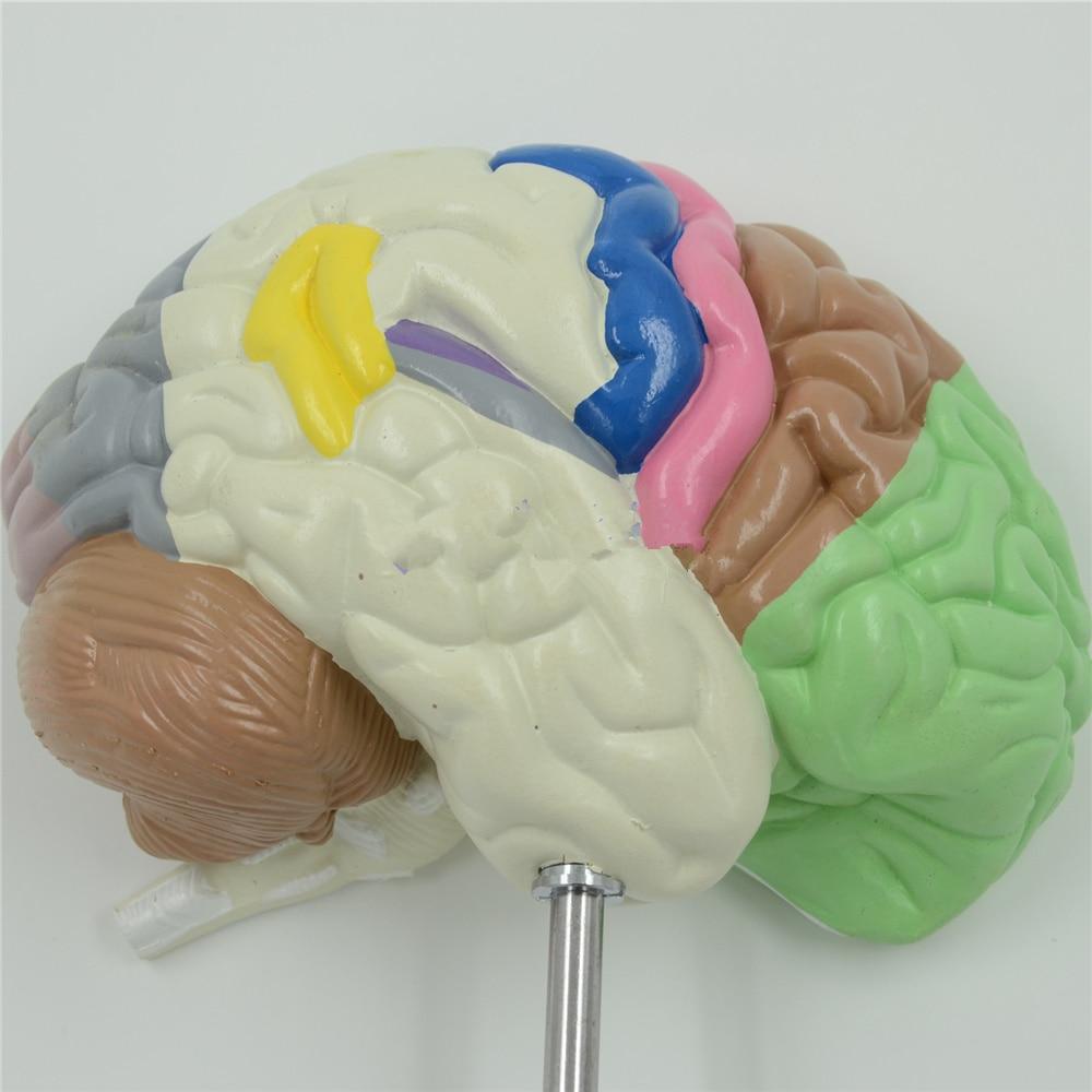 Color cerebro dominio anatomía modelo anatómico cerebro derecho ...
