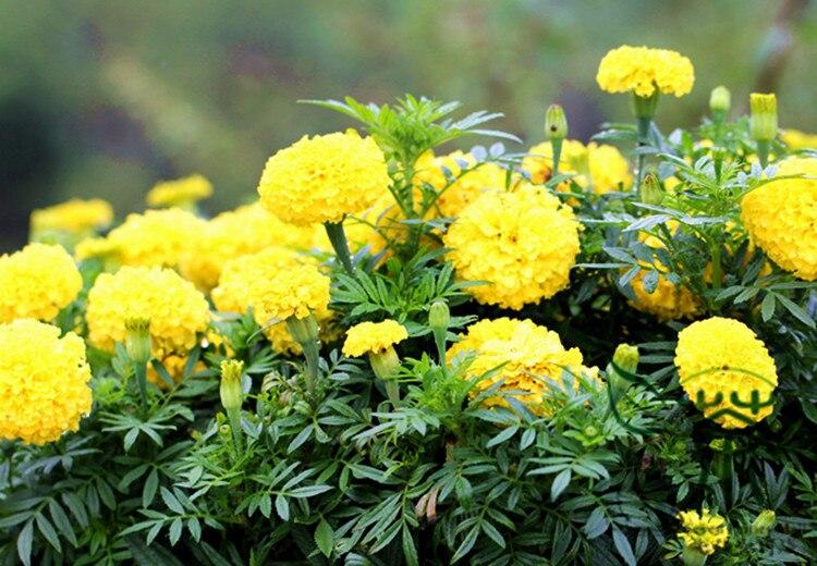 Hasil gambar untuk tanaman hias bunga marigold 980aafbc05