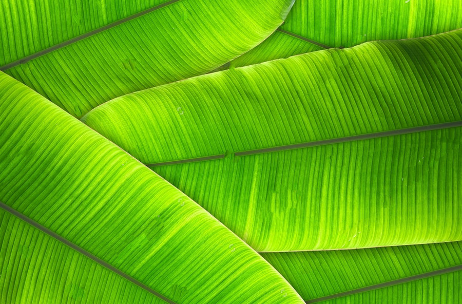 tropical palm leaves jungle green banana leaves background