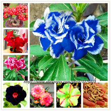 цены True Desert Rose flower plant Ornamental Plants Balcony Bonsai Potted Flowers Adenium Obesum tree - 2 Particles / bag