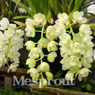 Specie orchidea acquista a poco prezzo specie orchidea for Semi orchidea