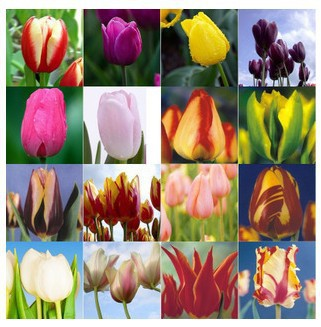 Tulip seeds, tulip flowers, beautiful tulip 24 varieties can pick - 3 seeds