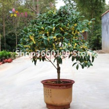 New Arrival ! 100% Genuine 10pcs Osmanthus Fragrans flower Bonsai Plant , Fragrant Olive Sweet Tree