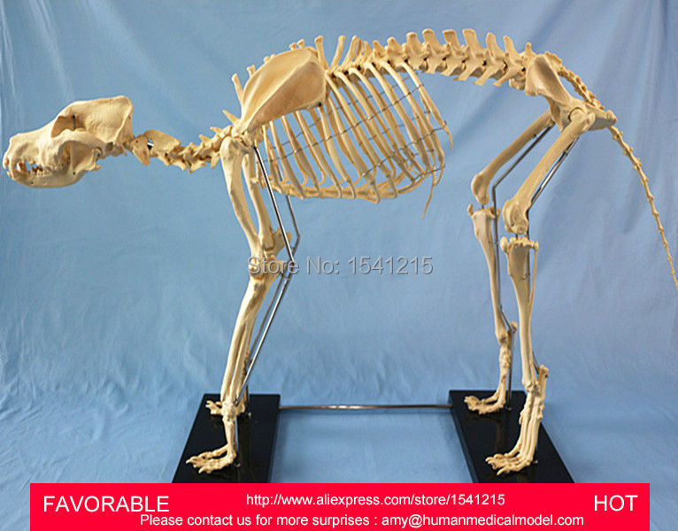 1.2M DOG MEDICAL SPECIMEN MODEL DOG BONE SKELETON DOG SKELETAL SPECIMENS DOG SKELETON MODEL LIFE SIZE-GASEN-RZDW011 dog