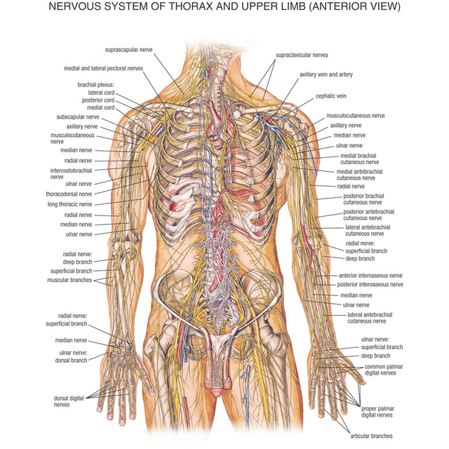 J0870 Human Body Structure Anatomy Chart Pop 14x21 24x36