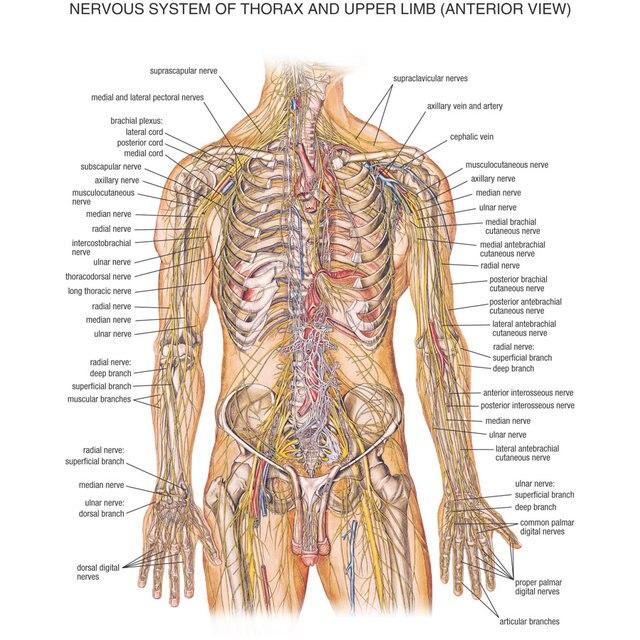 Online Shop J0870- Human Body Structure Anatomy Chart Pop 14x21 ...