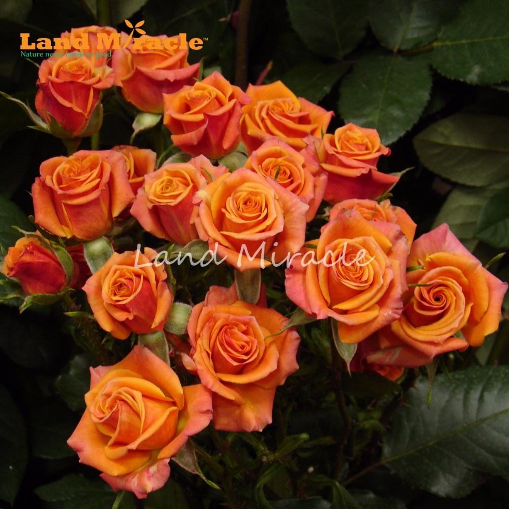 50 Seeds Orange Rose Flower Seeds, Rare BUSH TREE ROSE Seeds Bonsai Perennial Hardy Plants-LAND MIRACLE