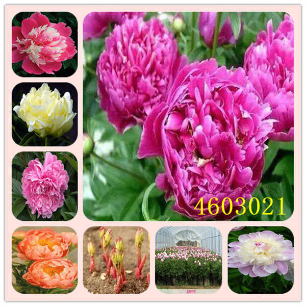 10 Pcs Exotic Double Peony Bonsai Multicolor Perennial Peony Flower,Chinese Paeonia Suffruticosa Plant DIY Home Garden Flore