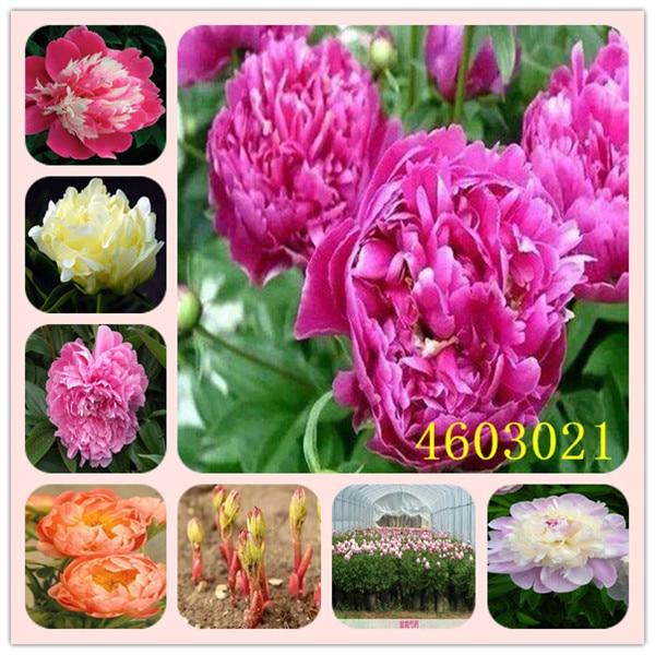 10 Pcs Exotic Double Peony Bonsai Multicolor Perennial Peony Flower,Chinese Paeonia Suffruticosa Plant DIY Home Garden Flore