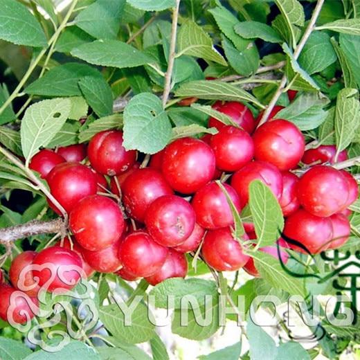 جنوب أصناف من بوعاء plum الفاكهة الفاكهة بالجملة plum بونساي النضج ثلاثة الصينية لى Zaiji لتوجيه 10 قطعة/الحزمة