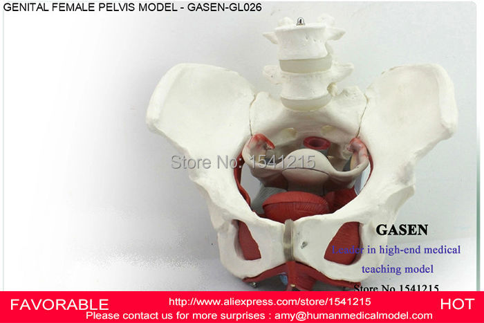 FEMALE PELVIS GENITAL MODEL MEDICAL FEMALE PELVIC STRUCTURE BLADDER VAGINAL MODEL GENITAL FEMALE PELVIS MODEL GASEN