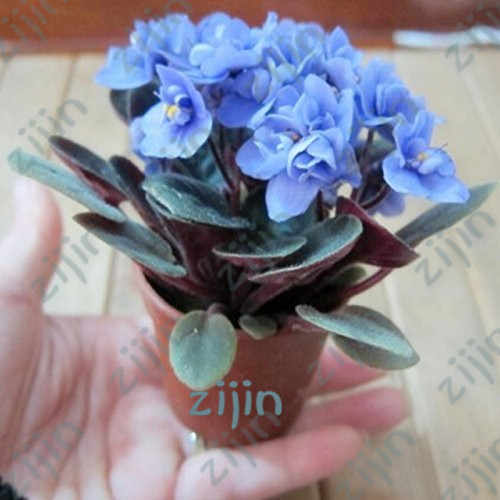 Beautiful plant Bonsai flower bonsai,African mini sky blue violet bonsais - 50pcs