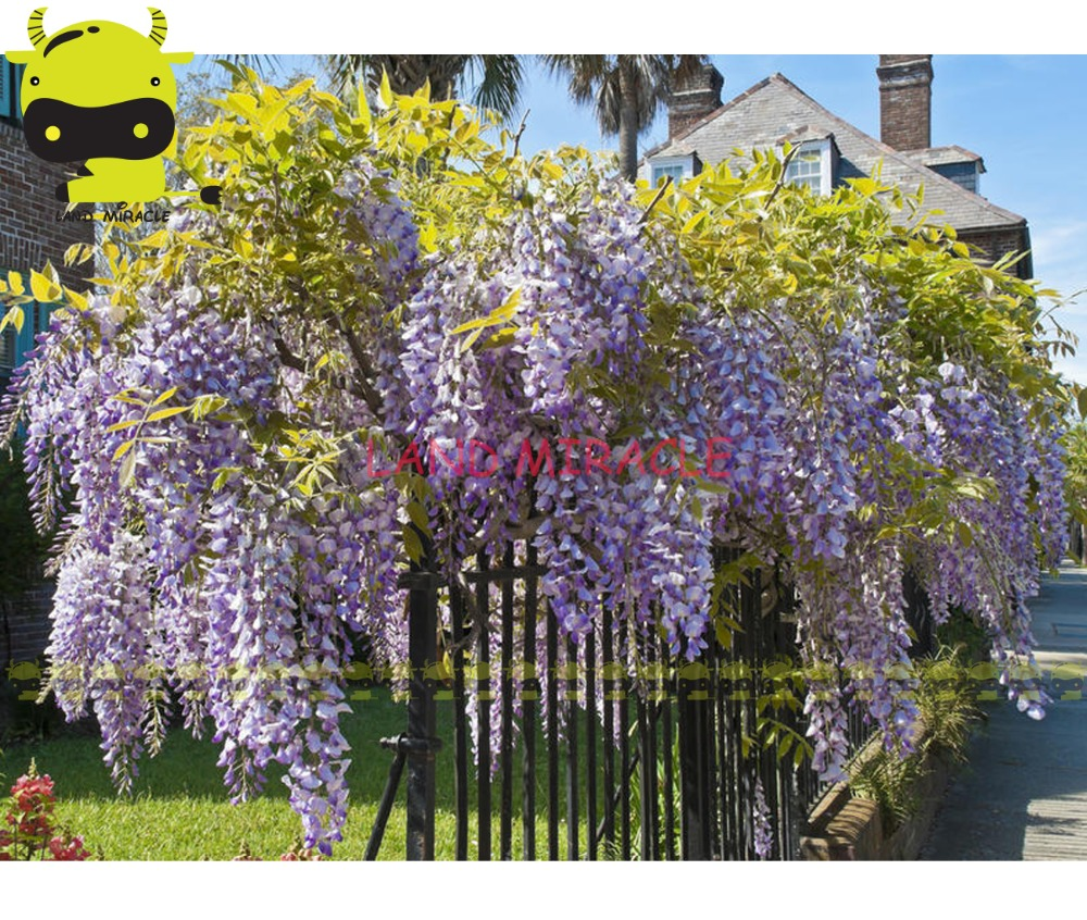 14 Types Giant Japanese Wisteria Flower Tree Seed, 10 Seeds/Pack ...