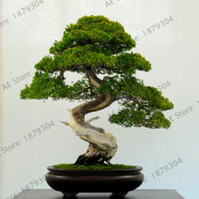 Promotion!50 juniper bonsai tree potted flowers office bonsai purify the air absorb harmful gases juniper garden free shipping,#