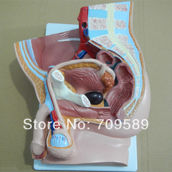 Median section of male pelvis model, Anatomy pelvis model sagitally section model about tissue decomposition model for doctor patient communication model with magnetic