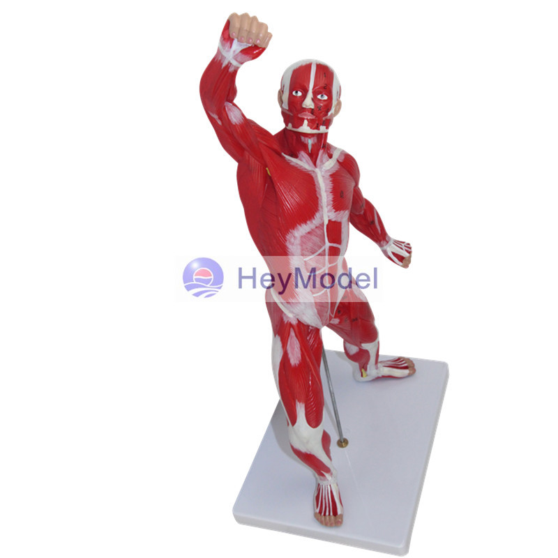 HeyModel Muscle model 50cm high with digital signage--50CM HeyModel Muscle model 50cm high with digital signage--50CM