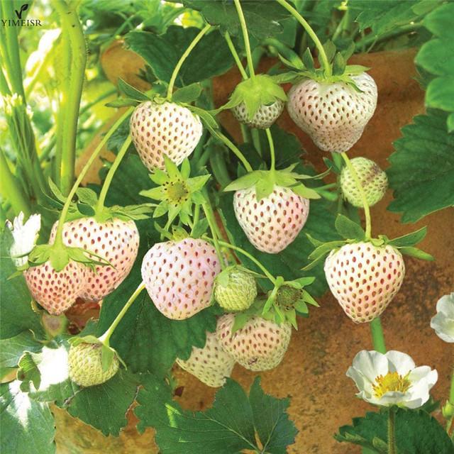 100seeds/bag White Strawberry Seeds Rare Sweet  Organic White Strawberry Fragaria Fruit seeds for home garden bonsai Plant