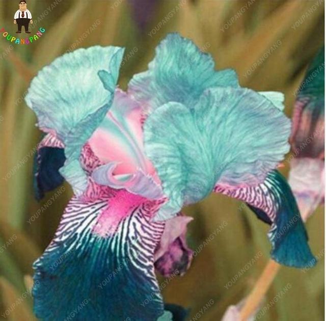 100pcs Iris plants 16 Kinds Of Color Iris bonsai Potted Iris Orchid Rare Perennial Flower Bonsai plantas For Home Garden
