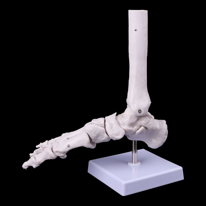 Image 3 - Life size Foot Ankle Joint Anatomical Skeleton Model Medical Display Study Tool Medical Science Stationery for School-in Medical Science from Office & School Supplies