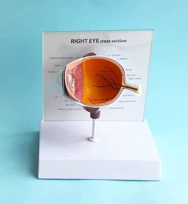 A Half Eye Model Teaching AIDS For Eye Anatomy Anatomic Model Of Half Eyeball