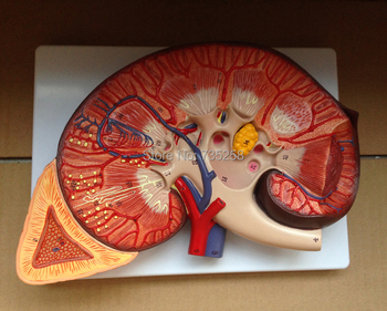 Kidney and Adrenal Gland Anatomy Model