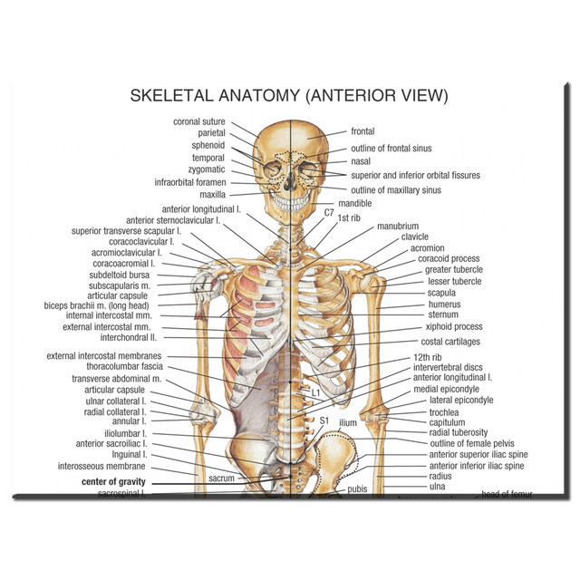 Online Shop Xdr610 Human Body Anatomical Chart Muscular System