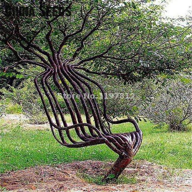 30 unidades/pacote Raro Cadeira de Jardim Árvore bonsai Árvore de Decoração Para Casa e Jardim Plantas Bonsais de Plantas Ornamentais Ao Ar Livre Venda Quente