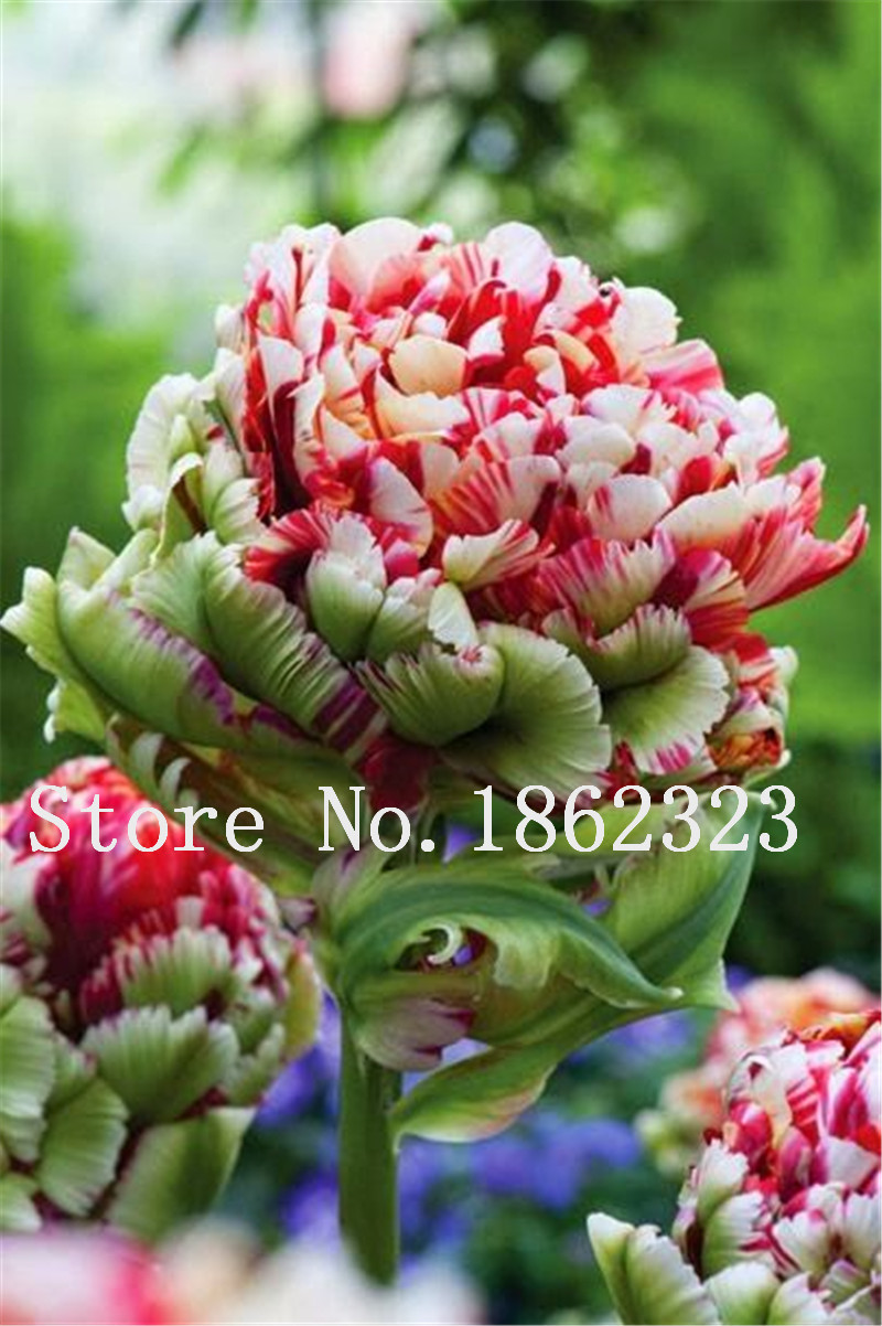 200pcs Multifarious Tulip Flowers Tulip Bonsai Of Perennial Garden