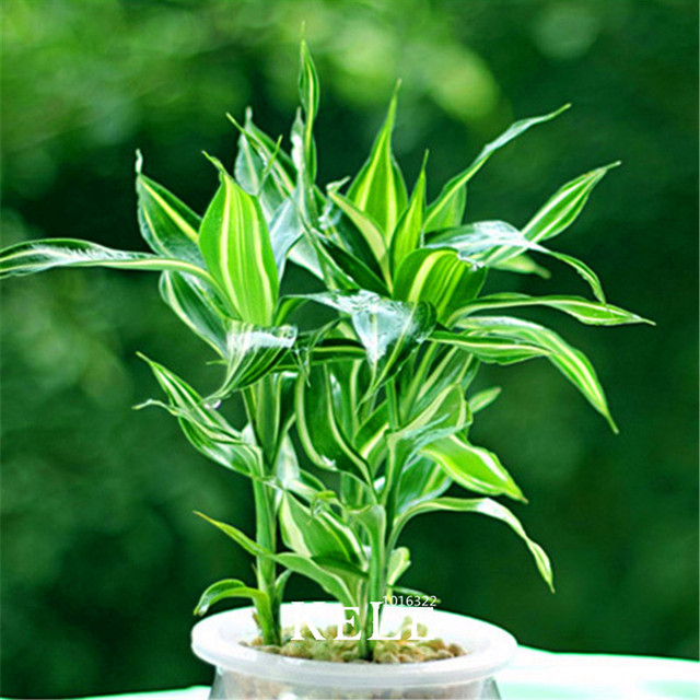 Big Sale!Rare Silver Heart Lucky Bamboo Seeds Absorb Dust Tree ...