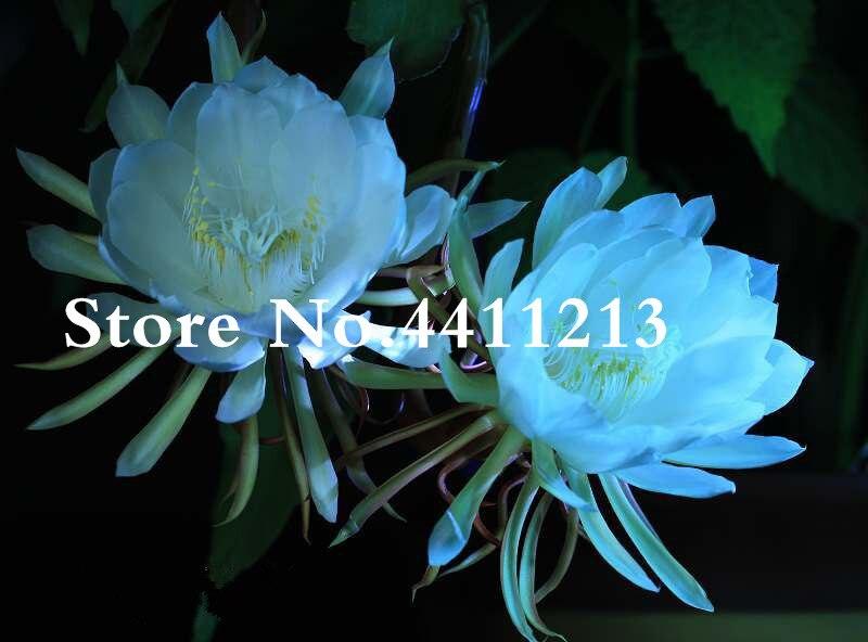 Zlking 10 Epiphyllum Nightblooming Cereus Home Garden Flower Plants Bonsai