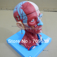 ISO Deluxe Anatomical Head and Neck with Muscles and Vessel Model, Brain Model