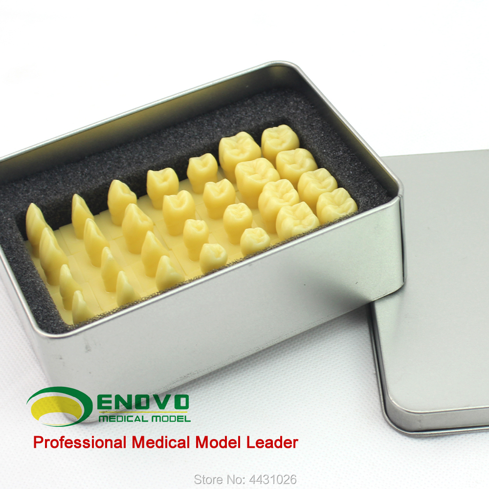 ENOVO 1.2 the dental model of dental prosthesisENOVO 1.2 the dental model of dental prosthesis
