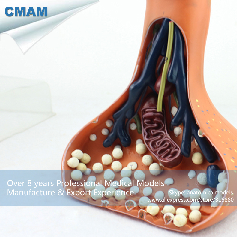 12413 CMAM-BRAIN15 Magnified 120000x Human Spinal Cord Chemical SYNAPSE Model, Medical Science Teaching Anatomical Models 12389 cmam vertebra06 plastic human thoracic spinal cord spinal nerve model medical science educational anatomical models