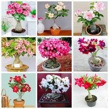 4985684c06 Galeria de desert rose bonsai por Atacado - Compre Lotes de desert ...