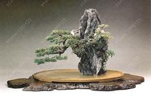 100 seeds/bag rock bonsai,bonsai flower seeds,tree seeds,Green perennial ornamental plants for home garden planting