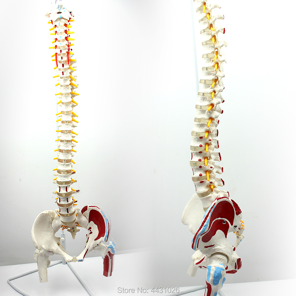 ENOVO The human spine model of the vertebral femoral musculoskeletal model