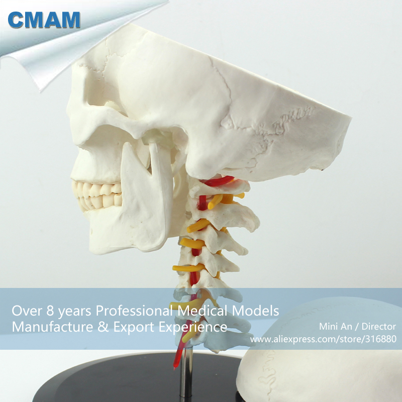 12332 CMAM-SKULL06 Human Skull on Cervical Vertebrae/Spine Anatomical Model,  Medical Science Teaching Anatomical Models 12004 cmam a04 veterinarian s cat feline acupuncture model medical science educational teaching anatomical models