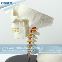 12332 CMAM SKULL06 Human Skull on Cervical Vertebrae/Spine Anatomical Model, Medical Science Teaching Anatomical Models