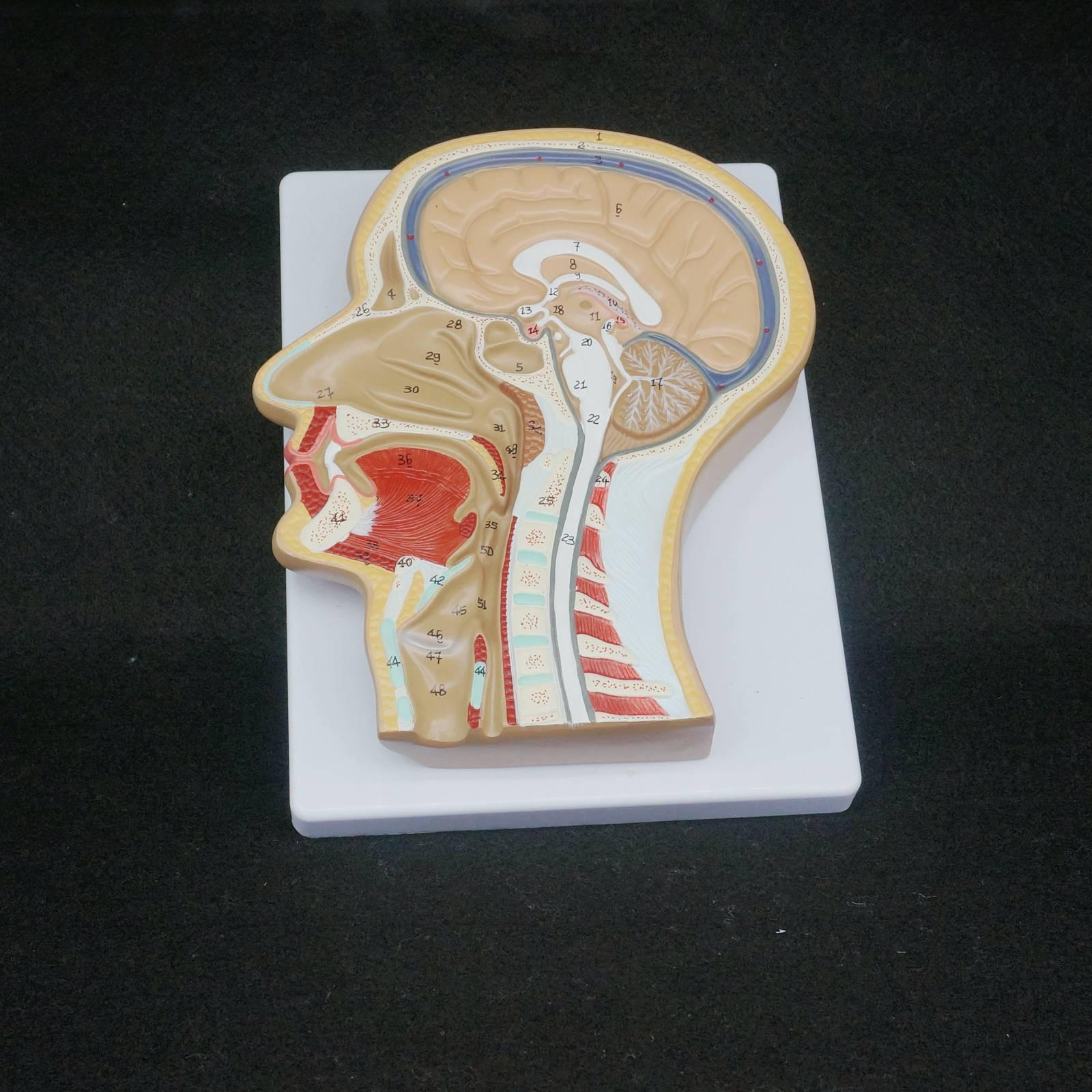 Human Median Section of Head Anatomical Model Medical Skeleton Anatomy Digital Identification median section of head model anatomical head model