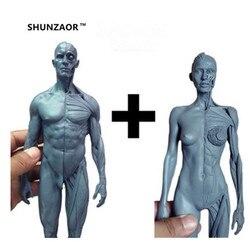 طقم تشريح جسد الإنسان من الذكور والإناث مقاس 1:6 30 سنتيمتر على شكل جمجمة وهيكل عظمي لنموذج عمل كاميرا تجميل