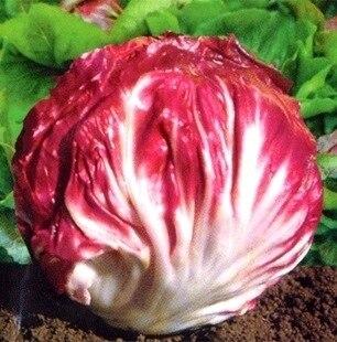 Красная капуста цикорий бонсай продажа полезные овощи bonsais 100 шт.