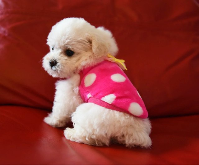 12 Styles Cute Dog Teacup Clothes Milk Puppy Clothing Chihuahua Vest