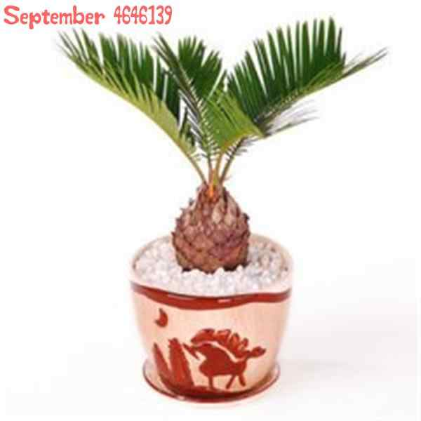 Mini Cycas bonsai,10 pcs blue Cycas, mini Sago Palm Tree .bonsai flower, budding rate 97% rare room potted plant for home garden